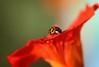 Edge - The invasion of the  Harlequin (jeannie debs) Tags: flower red harlequin ladybird ladybug spots orange nature edge macromondays macro hmm exploring macromondaysedge beetle nasturtium tropaeolum brilliant