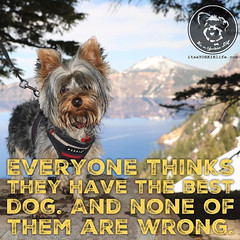 I have the best dog. Click love if you do too. (itsayorkielife) Tags: yorkiememe yorkie yorkshireterrier quote