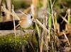 Viiksitimali (ville koponen) Tags: nature birds vanhankaupunginlahti timali viiksitimali töölönlahti