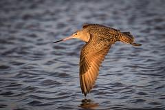 Down Beat (gseloff) Tags: marbledgodwit bird bif wildlife bolivarflatsshorebirdsanctuary galvestoncounty texas houstonaudubonsociety gseloff