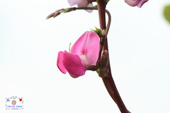 Hyacinth bean (~~ Y.C.CHEN) Tags: plant nature flower pink purple green light brown white canon color 7d marco