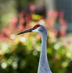 Oct 21 201620217 (Lake Worth) Tags: animal animals bird birdwatcher birds canonef500mmf4lisiiusm canoneos1dxmarkii everglades feathers florida nature outdoor southflorida waterbirds wetlands wildlife wing