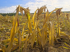 Harvested (enneafive) Tags: battlefield harvest maize korn yellow fibers sky blue horizon olympus omd em5