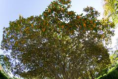 Clear Sky, Fragrant Olive, the Sun (nak.viognier) Tags: sun sky fragrantolive dark ryokuchipark osaka 緑地公園 olympusepl3 lumixgfisheye8mmf35