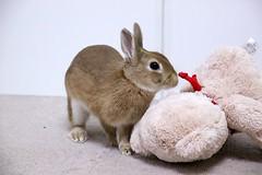 ICHIGO san 414 (mensore) Tags:  bunny netherlanddwarf brown cute pet family ichigo   rabbit