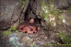 Northern Copperhead (Jeremy Schumacher) Tags: northern copperhead agkistrodon contortrix mokasen snake serpent illinois nature wildlife animal nikon d5000