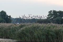 Starlings-4517.jpg (oldparson) Tags: levels somerset hamwall starling murmuration