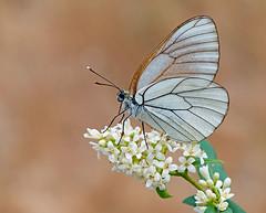 Aporia crategi (renzodionigi) Tags: lepidoptera papilionoidea pieridae aporia