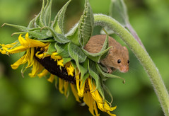 Harvest mouse (Micromys minutus) (Steven Whitehead) Tags: harvest harvestmice sunflower 2016 feeding fur field fields canon canon5dmk3 mouse nature wildlife wild small flowers flower wildflowers