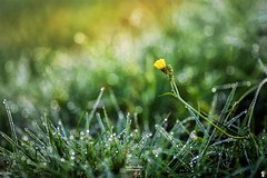 Mix of colors (FunkyPorcupine) Tags: flower nature winter droplets outdoor garden green sun light yellow bokeh bokehlicious
