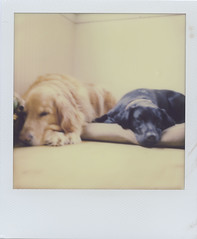 Brody and Quahog (JoexEdge) Tags: impossible project gen 2 polaroid sx70 black ma mas massachusetts cape cod dogs golden retriever lab labrador littledoglaughedstories
