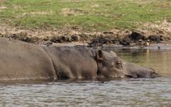 Hippo (Jos Rambaud) Tags: hippopotamus hippo hipopotamo mamiferos mammals animal animals wild wildlife naturaleza nature natureza botswana chobe choteenationalpark