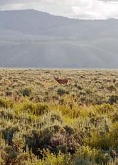 (~Abby) Tags: wyoming grandtetons deer buck july plain mountains mountain sunrise
