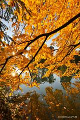 Gold (oncle_john) Tags: automne fall arbre tree feuille parc ttedor lyon france onclejohn canon 5d mark3 5d3 mk3 momentsdecapture