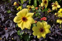 Autumn Dahlias (Eddie C3) Tags: centralpark nycparks conservatorygarden dahlia flowers flowergarden