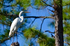 On the Look Out (bmasdeu) Tags: great egret white bird tropical florida lookout perch trees pine forest