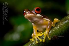 Duellmanohyla rufioculis (Rob Schell Photography) Tags: rain rainforest costarica stream amphibian frog perched treefrog centralamerica arboreal guayacan anura hylidae anuran specanimal specanimalphotooftheday toepad crarc iucnleastconcern duellmanohylarufioculis redeyedstreamfrog specanimaliconofthemonth costaricanamphibianresearchcenter limonprovence