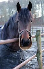 261 av 365 - Skydd (Yvonne L Sweden) Tags: horse sweden protection hst taxinge skydd 365foton 3652014