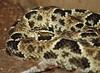 Bothrops barnetti (colindaca) Tags: snake venomous serpente velenoso bothropsbarnetti