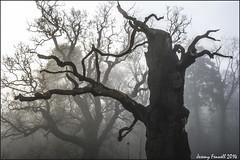 November Trees (zolaczakl) Tags: november trees mist silhouette fog earlymorning deadtree blaise 2014 blaisecastleestate henbury nikond7100 photographybyjeremyfennell