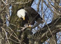 0725L&D14b (preacher43) Tags: fish nature birds river mississippi illinois lock dam 14 bald iowa eagles