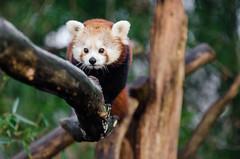 Red Panda (Mathias Appel) Tags: bear red tree cute animal germany deutschland zoo nikon panda bokeh adorable tele species endangered tierpark baum kleiner niedlich roter bedroht d7000