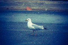 chicago illinois. april 2014 (timp37) Tags: chicago bird weather illinois seagull april snowing 2014