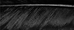 羽 (C. Neil Scott) Tags: feather southcarolina columbiasc 羽
