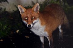 Mrs Half-brush (Urban_Mongoose) Tags: uk england urban nature animals canon britain wildlife fox foxes redfox vulpesvulpes canid canidae vulpine 550d europeanredfox vulpesvulpescrucigera