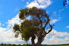 MOTIONLESS WIND (Lorenzo Rubino) Tags: blue sea sky italy brown white tree green clouds wind apulia