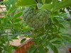 Pinha (Eun Wa) Tags: fruta árvore pinha pinhas