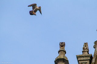 Peregrine male and female (Falco peregrinus)