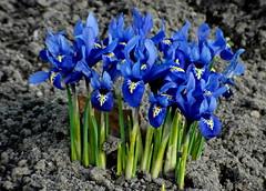 Frühling 2015 ... Iris ... als Minis kommen wir ganz groß raus... (Kindergartenkinder) Tags: park iris blumen garten frühling schwertlilie schrebergarten netzblatt kindergartenkinder