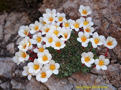 Saxifraga burserana (asphodelo72) Tags: flower flora val fiori piante friuli pordenone saxifraga cellina burserana