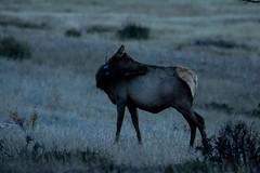 IMG_0420a (markbyzewski) Tags: colorado ugly elk estespark rockymountainnationalpark rut