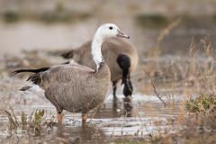 Strange Goose (m_Summers) Tags: white canada bird nature utah geese northernutah wildlife goose rare wasatchfront hybird daviscounty leucistic