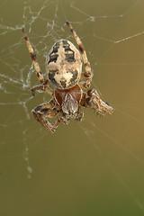 Larinioides cornutus (henk.wallays) Tags: 2005 macro nature closeup spider wildlife arachnid spin natuur date arthropoda 200501 aaaa araigne araneidae arachnidae larinioidescornutus rietkruisspin henkwallays