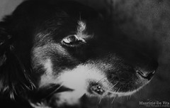 So long Lucky (Maurizio Scotsman De Vita) Tags: italy film dogs analog scans lucky prints cani stampe pellicola 35mmprint