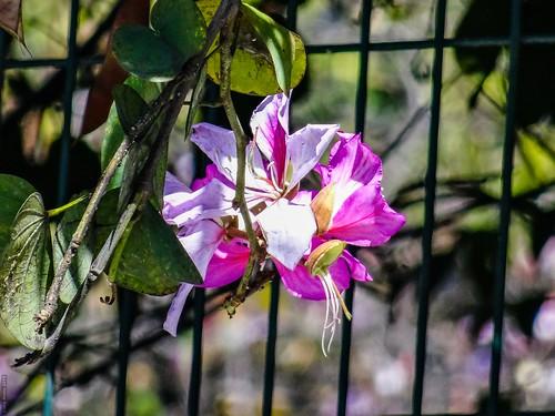 Flores - Morelia México 150207 115150 01109 HX50V