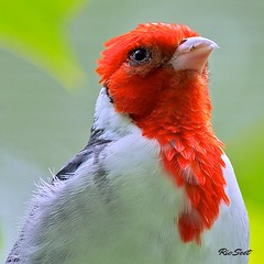 Red Creasted Cardinal (Ric Seet.) Tags: park red bird america singapore cardinal south jurong 100300 em5 of