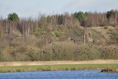 Old Moor (164) (rs1979) Tags: bird birds lapwing barnsley rotherham rspb wombwell lapwings oldmoor oldmoorwetlandcentre oldmoornaturereserve familyhide lowvalley