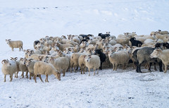 DSC01403 (ekremenak) Tags: photo iceland sheep 1502 150212