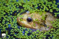 Marsh Frog In Duck Weed (Naturalpix) Tags: nature photography pond natural wildlife amphibian frog swamp marsh britishwildlife lovenature duckweed urbanphotography naturephotography marshfrog wildlifephotography ukwildlife welovewildlife wildlifeprints allnatureshots