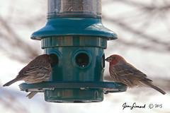 House Finch Bullies (Jeannot7) Tags: ontario bird backyard feeder housefinch birdwatcher cobourg haemorhousmexicanus