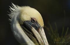 Pelican Profile (hfpicc) Tags: bird wildlife beak pelican floridabird canon7dmarkii heidipiccerelliphotography pelicanproflle