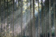 Beams (ralf.kerkhoff) Tags: natur bume botanik reken bahnhofreken wildparkfrankenhof