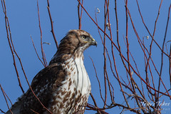 Posing Red Tailed Hawk