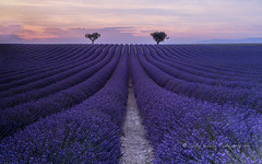 equilibrium (pixellesley) Tags: flowers trees sunset plants landscape evening sundown patterns lavender rows fields balance provence nightfall equilibrium ranks valensole lesleygooding