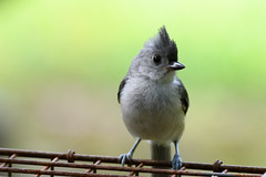 _JWC (J_W_C) Tags: titmouse cute tiny tufted summer