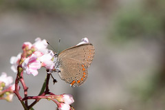 Coral Hairstreak on Spreading Dogbane (DK in TO) Tags: cardenalvar kawarthalakes northbearalvar ventral july insect taxonomy:kingdom=animalia animalia taxonomy:phylum=arthropoda arthropoda taxonomy:subphylum=hexapoda hexapoda taxonomy:class=insecta insecta taxonomy:subclass=pterygota pterygota taxonomy:order=lepidoptera lepidoptera taxonomy:superfamily=papilionoidea papilionoidea taxonomy:family=lycaenidae lycaenidae taxonomy:subfamily=theclinae theclinae taxonomy:tribe=eumaeini eumaeini taxonomy:genus=satyrium satyrium taxonomy:species=titus taxonomy:binomial=satyriumtitus satyriumtitus coralhairstreak portequeueabrog taxonomy:common=coralhairstreak taxonomy:common=portequeueabrog inaturalist:observation=3730545